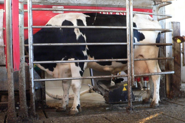 Milchvieh und Nachzucht