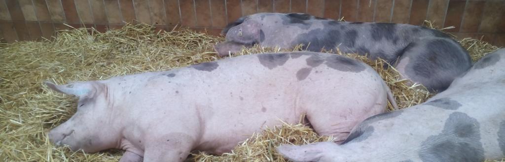 Biosicherheitsberatung in der Schweinehaltung